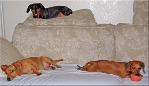 photo-of-3-happy-dachshunds