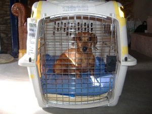 Dachshund Luke in his cage