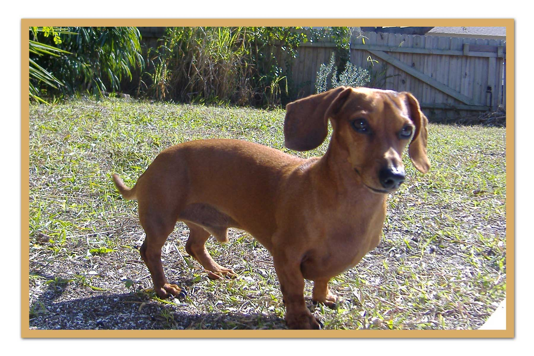 Weenie Dog Puppy For Sale Dfw Tx