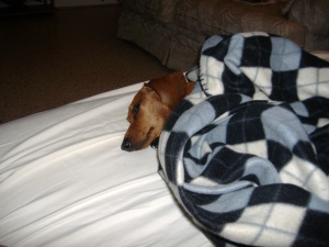 Dachshund Luke keeping warm